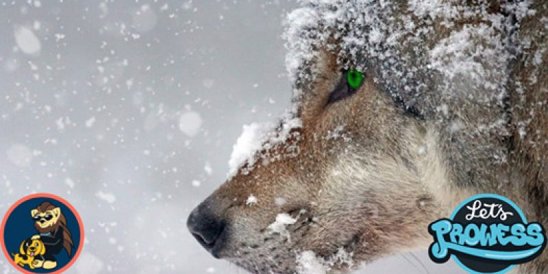 Wolf Yellowstone killed SADLY by a trophy hunter